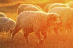 Крупный план штосселя овец на зоре Стоковые Фотографии RF