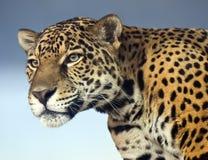 Крупный план ягуара Стоковые Изображения RF
