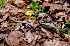 Крупный план ярких желтых цветка и зеленого цвета запятнал листья от завода лилии форели Стоковая Фотография