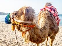 Крупный план ccolorful верблюда на пляже около Muscat в Омане - Стоковые Изображения