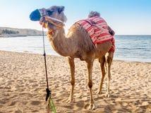 Крупный план ccolorful верблюда на пляже около Muscat в Омане - Стоковое фото RF