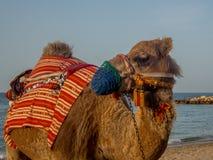 Крупный план ccolorful верблюда на пляже около Muscat в Омане - Стоковое Фото