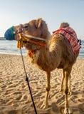 Крупный план ccolorful верблюда на пляже около Muscat в Омане - Стоковые Фото