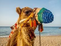 Крупный план ccolorful верблюда на пляже около Muscat в Омане - Стоковое Изображение RF