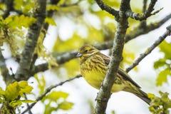 Крупный план citrinella Emberiza птицы yellowhammer садясь на насест дальше Стоковое Изображение
