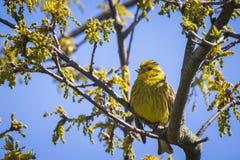 Крупный план citrinella Emberiza птицы yellowhammer садясь на насест дальше Стоковое Фото