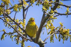 Крупный план citrinella Emberiza птицы yellowhammer садясь на насест дальше Стоковое Изображение RF
