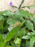 Крупный план Dragonfly Стоковая Фотография