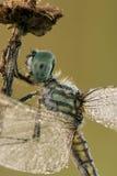 Крупный план Dragonfly Стоковые Фотографии RF