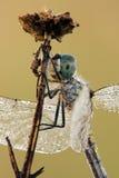 Крупный план Dragonfly Стоковые Фото