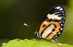 Крупный план euryanassa Placidina бабочки сидя на зеленых лист Стоковое Изображение RF