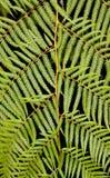 Крупный план fronds папоротника дерева Стоковые Изображения