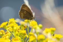 Крупный план hyperantus Aphantopus бабочки Ringlet стоковые фото