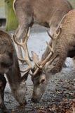Крупный план kingly коричневых рогачей Стоковое фото RF