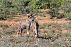 Крупный план 2 Kudus в парке слона Addo в Colchester, Южной Африке Стоковое фото RF