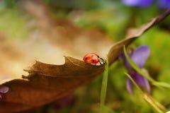 Крупный план Ladybird на лист Стоковое Изображение