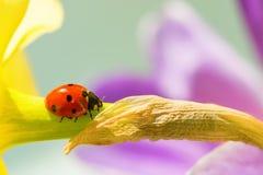 Крупный план Ladybird на цветке Стоковая Фотография