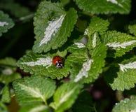 Крупный план Ladybug Ladybird на зеленых лист Стоковые Фотографии RF
