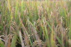 Крупный план riceplants в Ubud, Бали, Индонезии Стоковое Фото