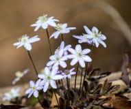 Крупный план wildflower hepatica весны стоковые фотографии rf