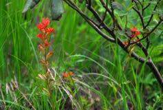 Крупный план Wildflowers индийского Paintbrush весной стоковые фотографии rf