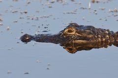 Крупный план американского аллигатора - Флорида Стоковые Изображения RF