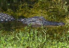 Крупный план американского аллигатора Стоковые Фото
