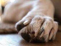 Крупный план лапки ` s собаки Стоковые Изображения RF