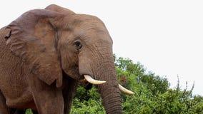 Крупный план африканского слона видеоматериал