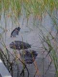 Крупный план аллигатора на национальном парке болотистых низменностей Стоковые Изображения RF