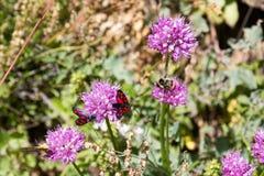 Крупный план бабочки горы Стоковое Изображение RF