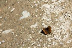 Крупный план бабочки горы Стоковое Фото