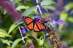 Крупный план бабочки монарха Стоковое Изображение