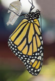 Крупный план бабочки монарха Стоковое фото RF