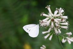Крупный план бабочки на цветке Стоковое фото RF