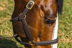 Крупный план белизны Брайна глаза лошади Стоковая Фотография RF