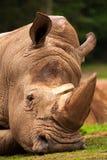 Крупный план белого носорога Стоковая Фотография RF