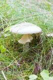 Крупный план белого пластинчатого гриба мухы в траве Стоковая Фотография
