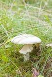 Крупный план белого пластинчатого гриба мухы в траве Стоковая Фотография RF