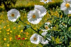 Крупный план белого цветения Wildflower шиповатого мака в Техасе Стоковая Фотография RF