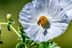 Крупный план белого цветения Wildflower шиповатого мака с пчелой внутри Стоковая Фотография RF