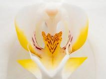 Крупный план белой и желтой орхидеи Стоковое фото RF
