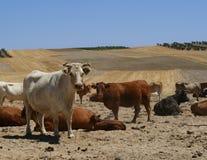Крупный план белой коровы смотря фотограф Стоковые Фото