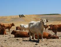 Крупный план белой коровы смотря фотограф Стоковая Фотография RF