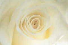 Крупный план белой розы Стоковые Фото