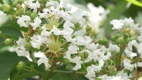 Крупный план белых цветений Миртл Crepe акции видеоматериалы