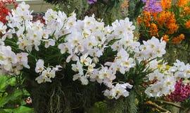Крупный план белых цветков орхидеи украшает зеленые лист Стоковое фото RF