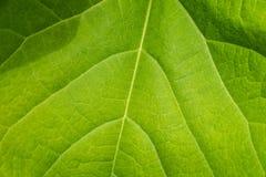 Крупный план больших зеленых лист лета Стоковое Изображение