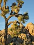 Крупный план большого, высокорослого дерева Иешуа против голубого неба пустыни с фоном старых валунов гранита Стоковое Изображение RF