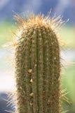 Крупный план большого кактуса с шипами Стоковое Изображение RF